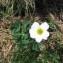 Joceline Chappert-bessiere - Callianthemum coriandrifolium Rchb. [1832]