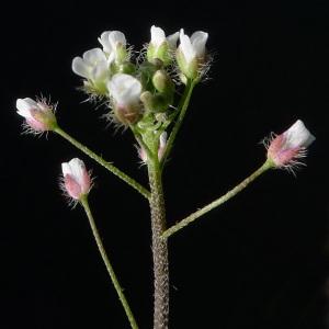 Photographie n°65607 du taxon Capsella rubella Reut. [1854]