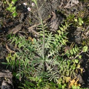 Photographie n°65608 du taxon Capsella rubella Reut. [1854]