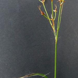 Photographie n°65626 du taxon Luzula forsteri (Sm.) DC.