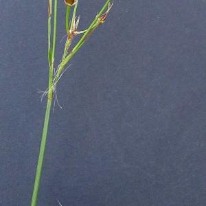 Photographie n°65628 du taxon Luzula forsteri (Sm.) DC.
