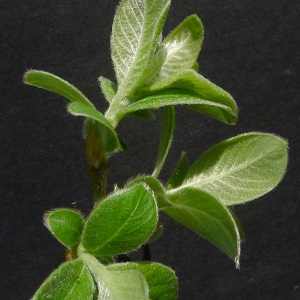 Photographie n°65635 du taxon Salix cinerea L. [1753]