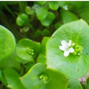 Photographie n°65648 du taxon Claytonia perfoliata subsp. perfoliata