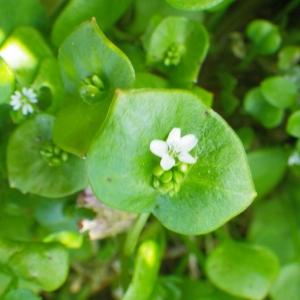 Photographie n°65649 du taxon Claytonia perfoliata subsp. perfoliata