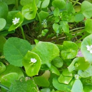 Photographie n°65650 du taxon Claytonia perfoliata subsp. perfoliata