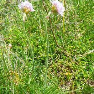 Photographie n°65657 du taxon Armeria maritima subsp. maritima