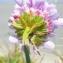 Liliane Roubaudi - Armeria maritima subsp. maritima