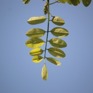 Photographie n°65686 du taxon Robinia pseudoacacia L.