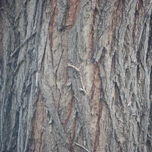 Photographie n°65689 du taxon Robinia pseudoacacia L.