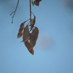 Photographie n°65691 du taxon Robinia pseudoacacia L.