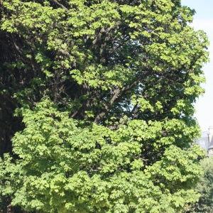 Photographie n°65701 du taxon Acer pseudoplatanus L.