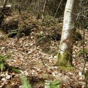 Photographie n°65785 du taxon Fagus sylvatica L.