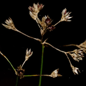 Photographie n°65793 du taxon Luzula sylvatica (Huds.) Gaudin