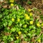Liliane Roubaudi - Ranunculus ficaria L.