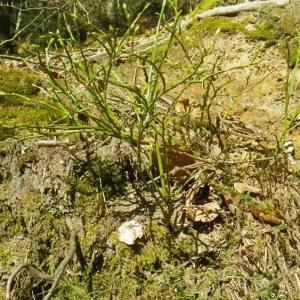Photographie n°65799 du taxon Vaccinium myrtillus L.