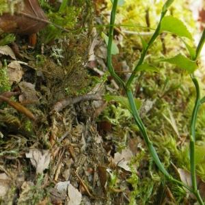 Photographie n°65800 du taxon Vaccinium myrtillus L.