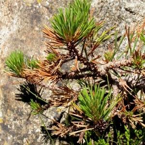 Photographie n°65841 du taxon Pinus mugo subsp. uncinata (Ramond ex DC.) Domin [1936]