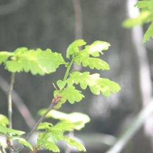 Photographie n°65851 du taxon Quercus robur L. [1753]