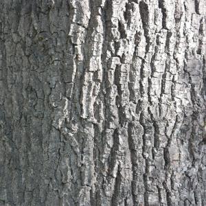 Photographie n°65852 du taxon Quercus robur L. [1753]