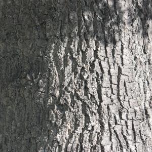 Photographie n°65853 du taxon Quercus robur L. [1753]