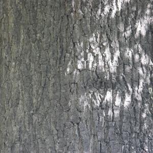 Photographie n°65854 du taxon Quercus robur L. [1753]