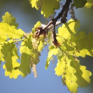 Photographie n°65855 du taxon Quercus robur L. [1753]