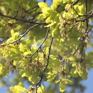 Photographie n°65856 du taxon Quercus robur L. [1753]