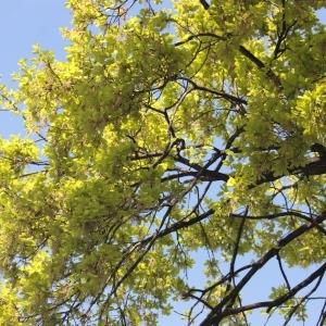 Photographie n°65857 du taxon Quercus robur L. [1753]