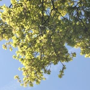 Photographie n°65858 du taxon Quercus robur L. [1753]