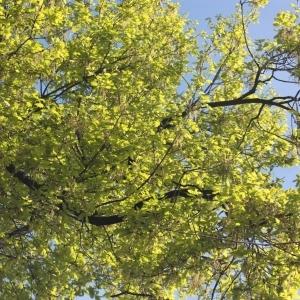 Photographie n°65859 du taxon Quercus robur L. [1753]
