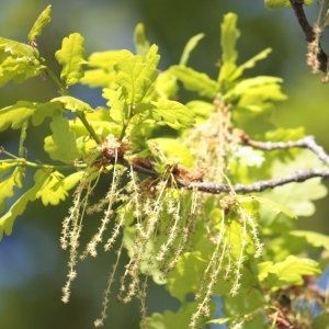 Photographie n°65860 du taxon Quercus robur L. [1753]