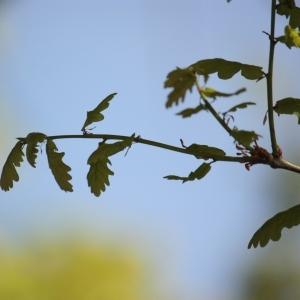 Photographie n°65861 du taxon Quercus robur L. [1753]