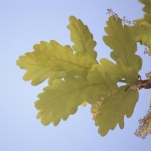 Photographie n°65862 du taxon Quercus robur L. [1753]