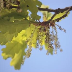 Photographie n°65863 du taxon Quercus robur L. [1753]