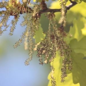 Photographie n°65864 du taxon Quercus robur L. [1753]