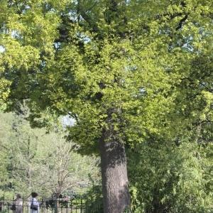 Photographie n°65865 du taxon Quercus robur L. [1753]