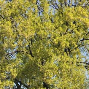 Photographie n°65866 du taxon Quercus robur L. [1753]