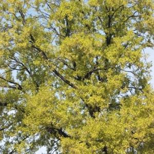 Photographie n°65867 du taxon Quercus robur L. [1753]