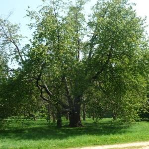 Photographie n°65884 du taxon Prunus avium (L.) L. [1755]