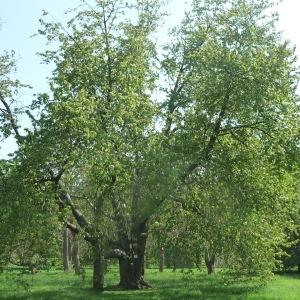 Photographie n°65885 du taxon Prunus avium (L.) L. [1755]