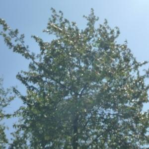 Photographie n°65886 du taxon Prunus avium (L.) L. [1755]