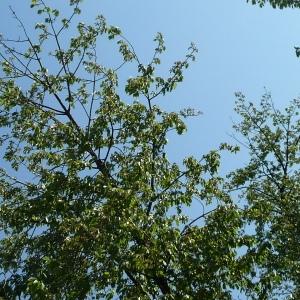 Photographie n°65887 du taxon Prunus avium (L.) L. [1755]