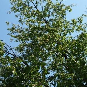 Photographie n°65888 du taxon Prunus avium (L.) L. [1755]