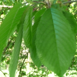 Photographie n°65894 du taxon Prunus avium (L.) L. [1755]