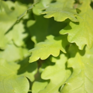 Photographie n°65897 du taxon Quercus robur L. [1753]