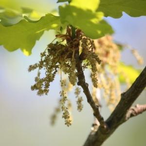 Photographie n°65899 du taxon Quercus robur L. [1753]