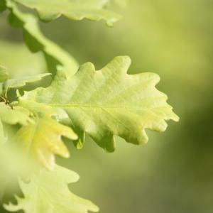 Photographie n°65906 du taxon Quercus robur L. [1753]