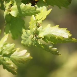 Photographie n°65907 du taxon Quercus robur L. [1753]