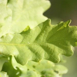 Photographie n°65910 du taxon Quercus robur L. [1753]