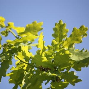 Photographie n°65911 du taxon Quercus robur L. [1753]